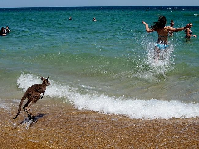 Un bébé kangourou en Australie