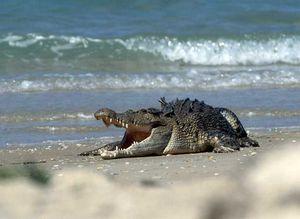Le crocodile marin en Australie