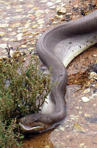 Les photos chocs d 39 un python qui avale un crocodile en australie - Comment tuer un serpent ...