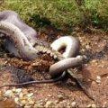 Un python avale un crocodile en Australie