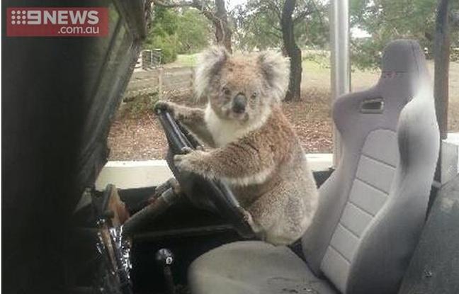 Koala Australia Voiture
