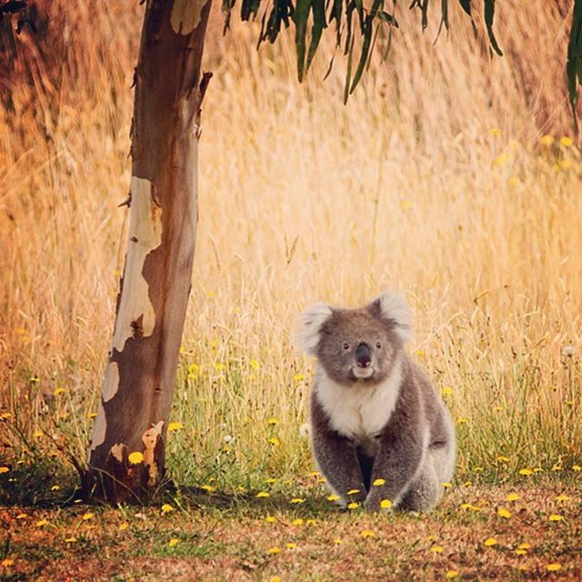 instagram_australie_koala