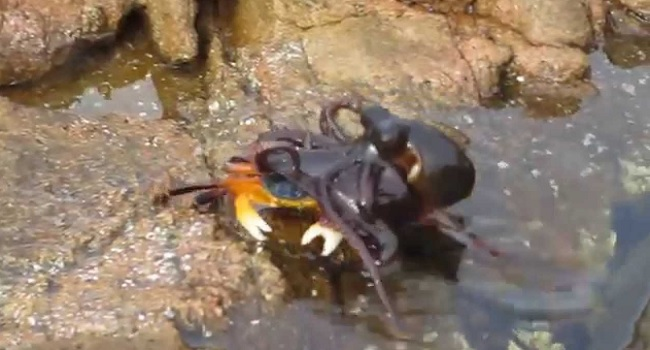 Poulpe attaque un crabe