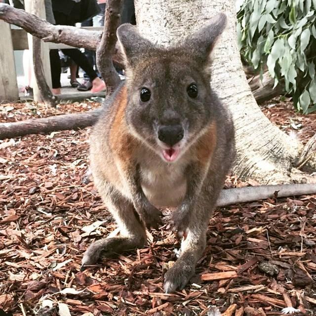 pademelon Australie