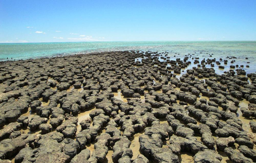 Shark Bay Stromatolites Stromatolites à Shark Bay