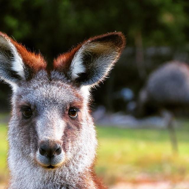 Canberra Australie Kangourou