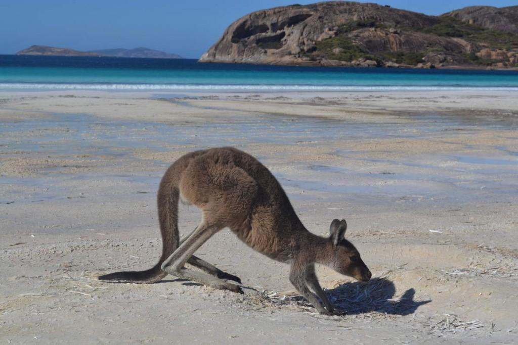 Kangourou plage
