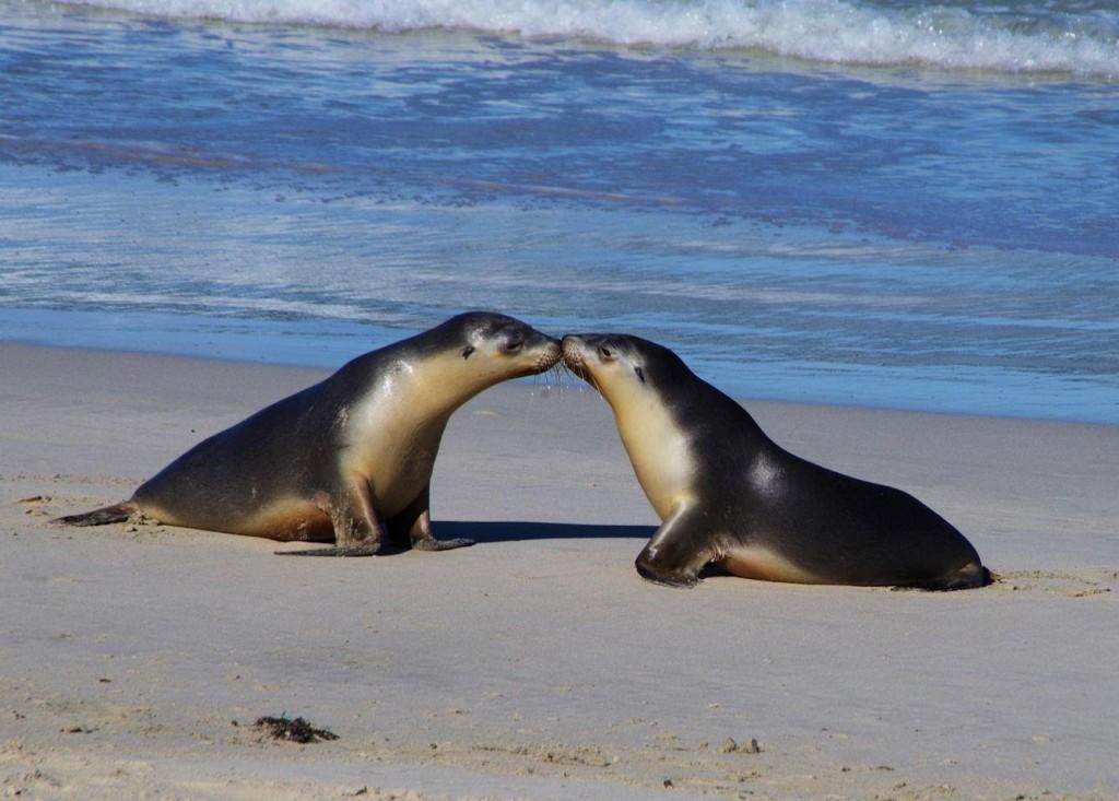 Kangaroo-Island_ seal bay