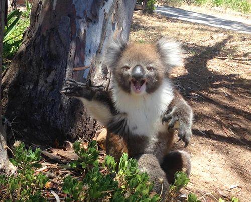 koala pleure