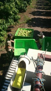 Fruit picking de mangue en Australie