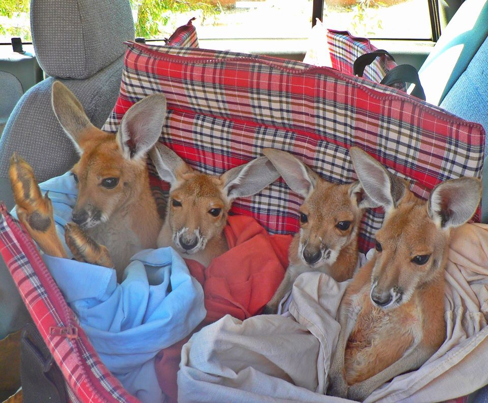 The Kangaroo Sanctuary Alice Spring