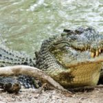 saltwater-crocodile-800x421