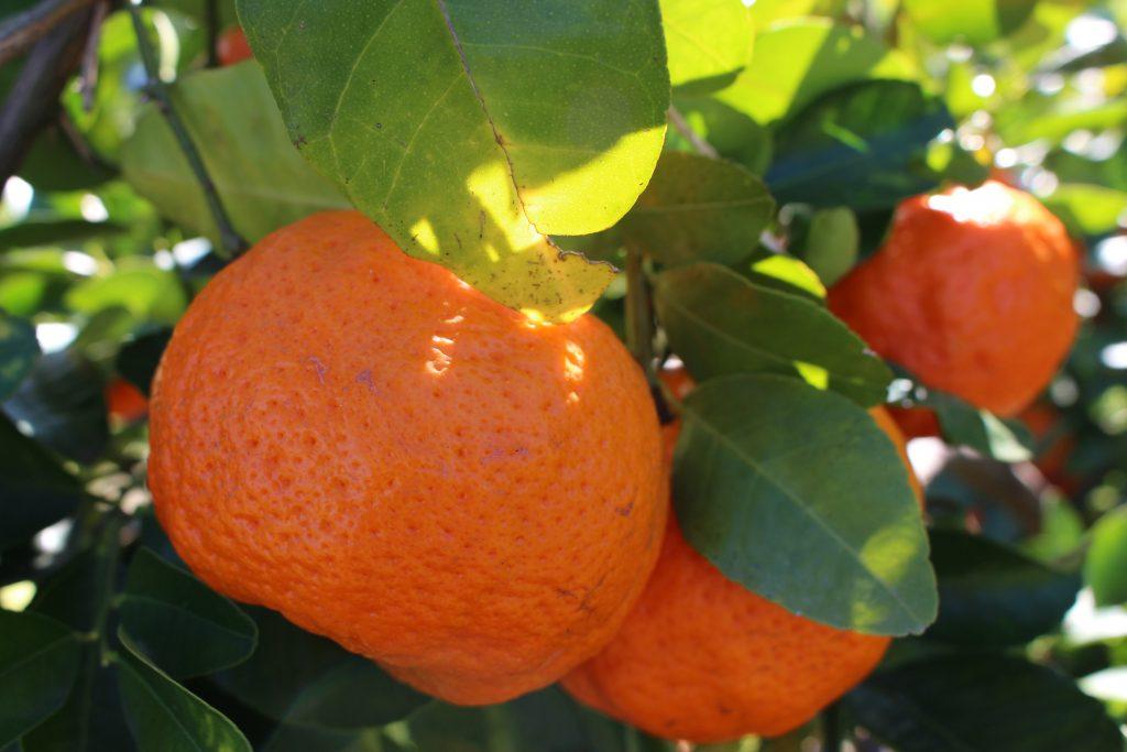 le fruit picking et packing de mandarine à Gayndah