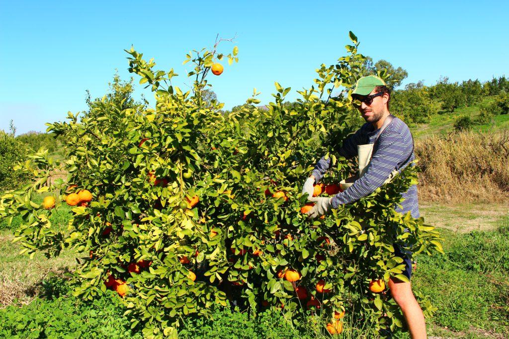Ile fruit picking et packing de mandarine à Gayndah