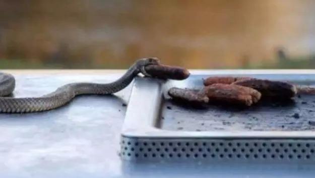 Serpent en Australie, le barbecue les attire