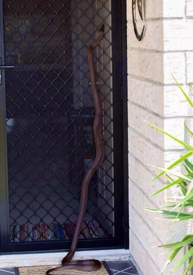 Serpent en Australie, ils rôdent près des portes