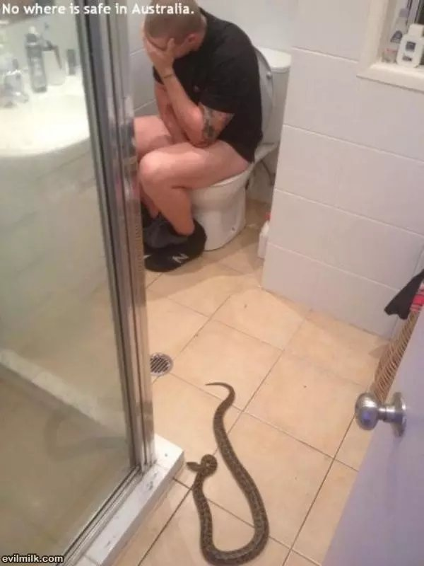 Serpent en Australie, ils peuvent se retrouver dans la salle de bain