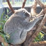 Hopital des koalas Port Macquarie Australie