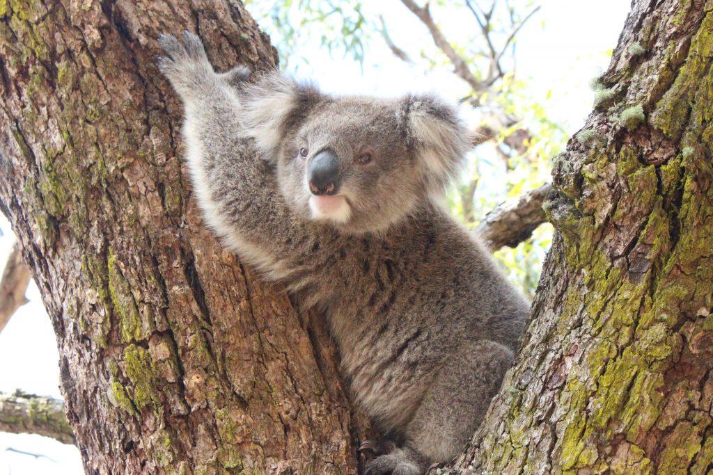 Koala blotti dans un arbre sur Raymond Island