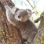 Raymond Island, Koala