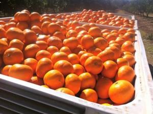 Le fruit picking de Mandarine