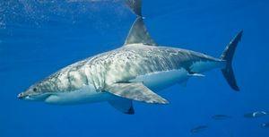 Le requin blanc en Australie