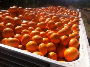 Le fruit picking à Gayndah