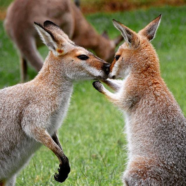 Photo Australie Kangourou