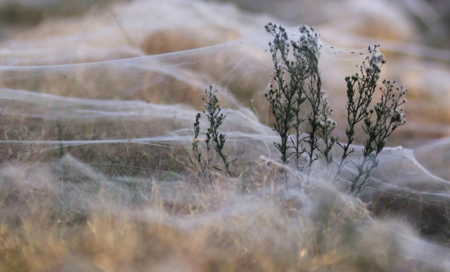 spider australia1