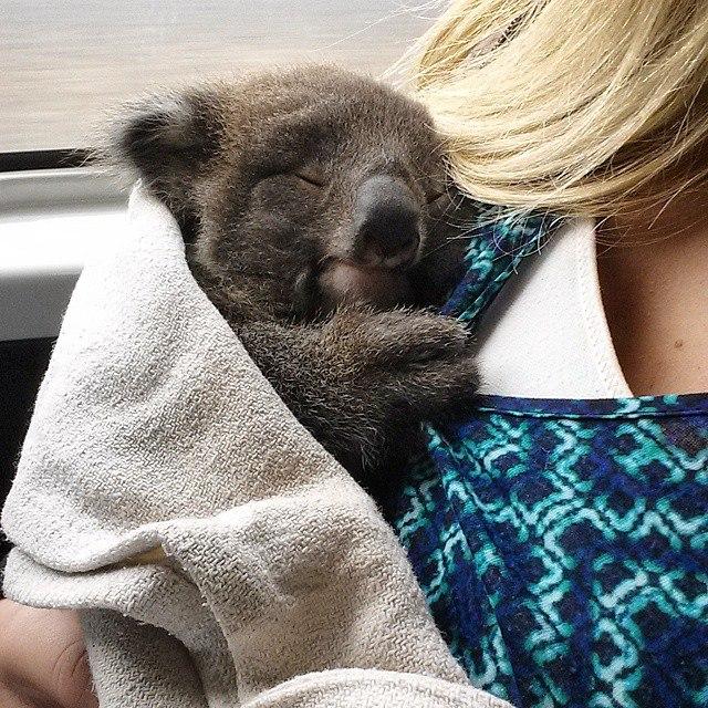 Koala Australie