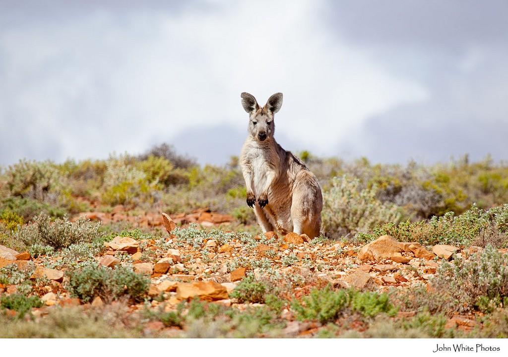 Kangaroo in outback South Australia. Australia