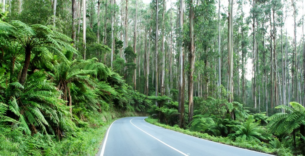 The Black Spur, Victoria, Australia ~ tree ferns beneath towerin