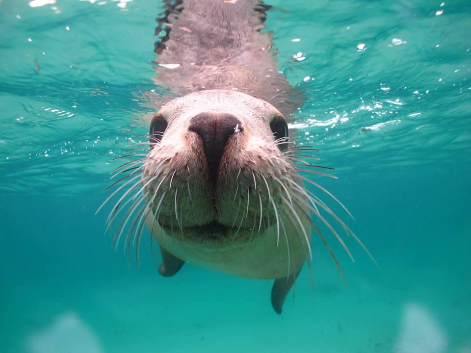 Nager avec les otaries australie