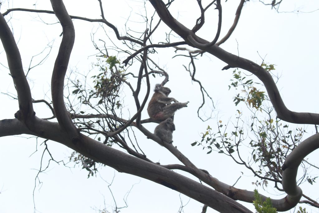 Great Ocean Road, koalas