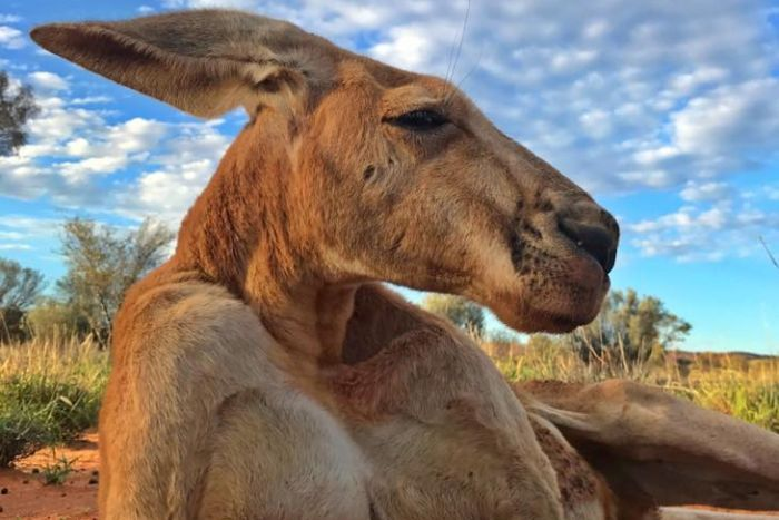 Australie Kangourou roger
