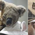 Animaux Australie incendies morts