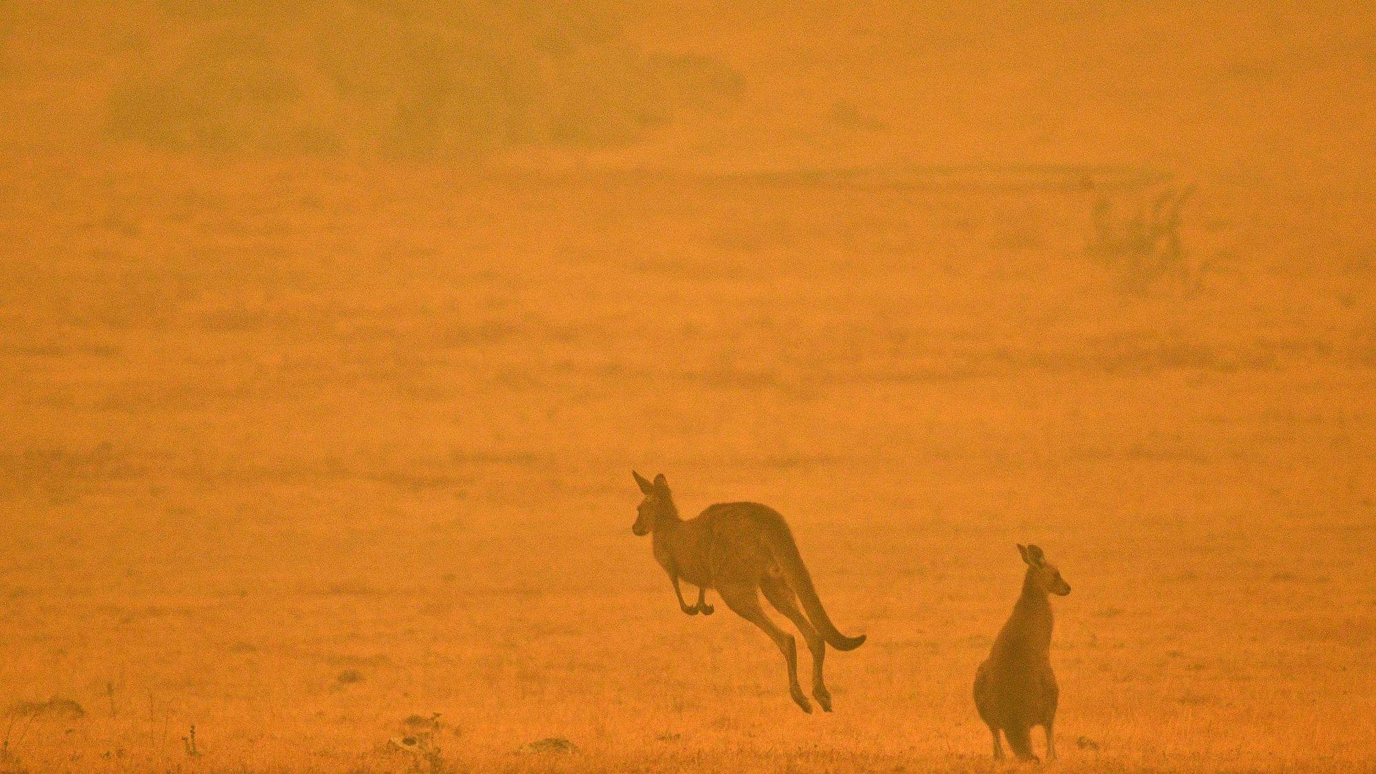 Incendie Australie kangourou