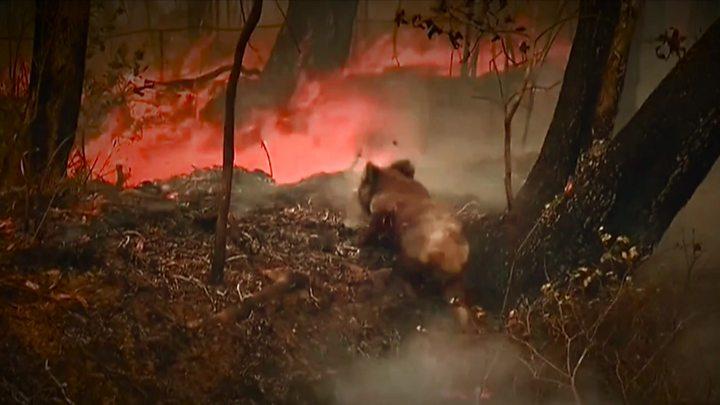 koala Australie incendies