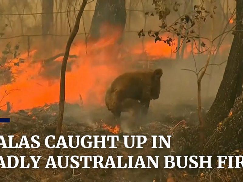 Koala Australie bushfire